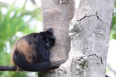 małpa męcząca Obrazy Stock