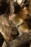 małpa męcząca Obrazy Royalty Free