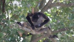 Małpa na drzewie w dzikim zbiory wideo