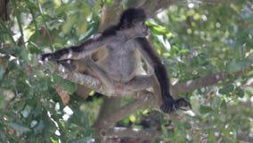 Małpa na drzewie w dzikim zbiory