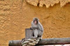Małpa na drzewnym bagażniku Obrazy Stock