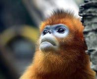małpa ostrożnie wprowadzać afront Fotografia Stock