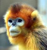 małpa ostrożnie wprowadzać afront Obrazy Royalty Free