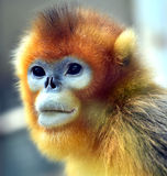 małpa ostrożnie wprowadzać afront Obraz Stock