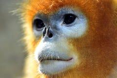 małpa ostrożnie wprowadzać afront Fotografia Royalty Free