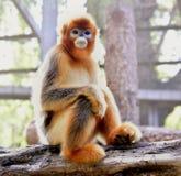 małpa ostrożnie wprowadzać afront Obrazy Stock