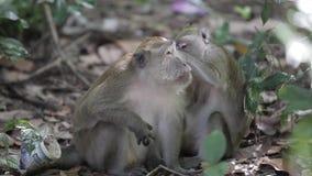 Małpa patrzeje dla insektów zdjęcie wideo