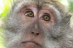 Małpa patrzeje wokoło Dzika natura Bali, Indonezja Zdjęcie Royalty Free