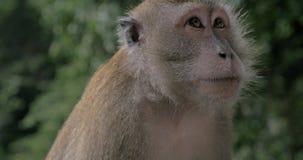 Małpa pod deszczem zbiory