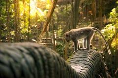 Małpa przy smoka mostem w małpim lesie Obrazy Stock