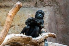 Małpa przy obrazy royalty free