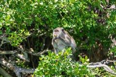 Małpa siedzi na drzewie i je owocowego Phuket, Tajlandia fotografia royalty free