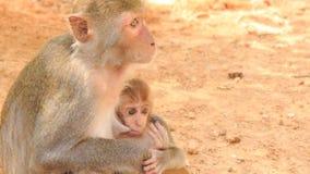 małpa siedzi przy kamiennymi spojrzeniami wykarmia lisiątka w tropikalnym parku zbiory