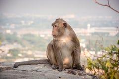 Małpa siedzi relaksować na falezie w wieczór szczęśliwie zdjęcia stock