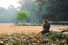 Małpa siedzi w świątynnym powikłanym Angkor Wat Siem Przeprowadza żniwa, Kambodża obrazy royalty free