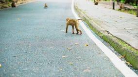 Małpa spacer wzdłuż drogi w Tajlandia Małpia rodzina żyje w parku narodowym Droga w dżungli zdjęcie wideo
