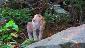 Małpa stojaki na skale w tropikalny las deszczowy dżungli siedlisko dzikie małpy zdjęcie wideo