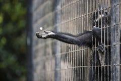 Małpa WŚRODKU GRILLE W zoo obraz royalty free