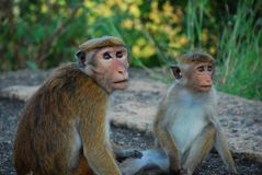 Małpa w dżungli Sri Lanka Obrazy Royalty Free