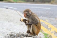 Małpa w Kam shanu kraju parku, Kowloon zdjęcia royalty free