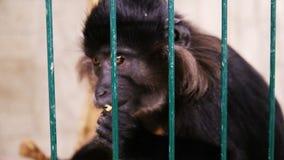 Małpa w klatce zbiory wideo