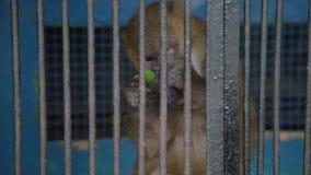 Małpa w klatce przy zoo zbiory wideo