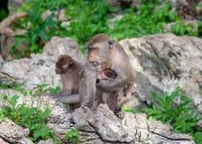Małpa w Krabi Thailand/zwierzęciu obraz stock