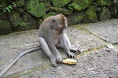 Małpa w Ubud małpy Sakralnym lesie Bali, Indonezja (,) Obrazy Stock