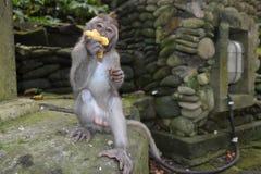 Małpa w Ubud małpy Sakralnym lesie Bali, Indonezja (,) Obraz Royalty Free