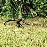 małpa widzi zdjęcia royalty free