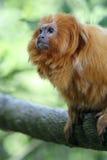 małpa złota Obrazy Stock