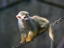 małpa złota Zdjęcie Stock
