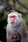 Małpa z dziecko małpą Zdjęcie Stock