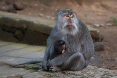 Małpa z lisiątkiem Obrazy Stock