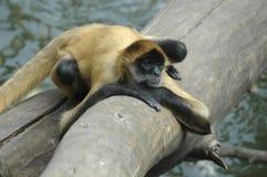 małpa zanudzająca jeden Fotografia Royalty Free