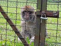 Małpa zoo smucenie ból zwierzę Zdjęcia Royalty Free