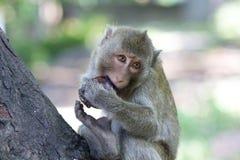 Małpi łasowanie Zdjęcie Royalty Free
