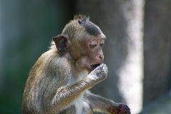 Małpi łasowanie Zdjęcia Royalty Free