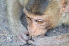 Małpi łasowanie Fotografia Stock