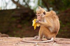 Małpi łasowanie banan Obrazy Royalty Free