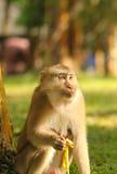 Małpi łasowanie banan Zdjęcie Stock