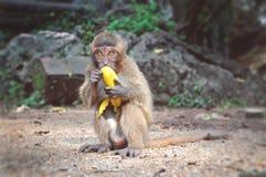 Małpi łasowanie banan Obraz Stock