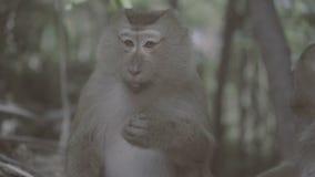 Małpi łasowanie obok inny w las małpy wzgórzu w Phuket, Tajlandia zdjęcie wideo