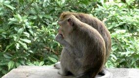 Małpi łasowanie owoc zbiory