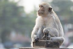 Małpi żyje w mieście Zdjęcia Stock