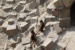 Małpi bawić się zdjęcia royalty free