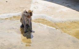 Małpi bawić się na wodzie Zdjęcie Royalty Free