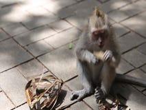 Małpi bawić się w lesie - Ubud, Bali zdjęcie wideo