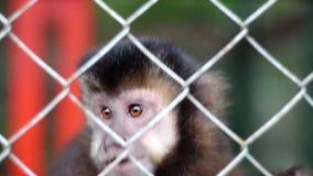 Małpi Capuchin zbiory wideo