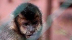 Małpi Capuchin zdjęcie wideo